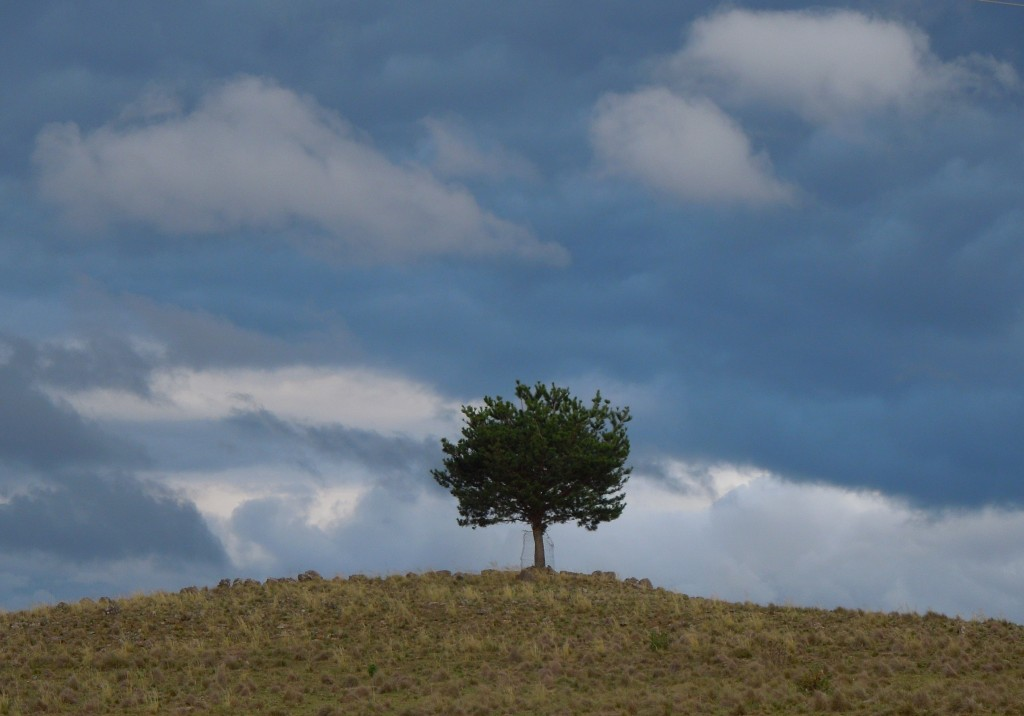 This small conifer with tree guard seems to be marking a significant hill or place