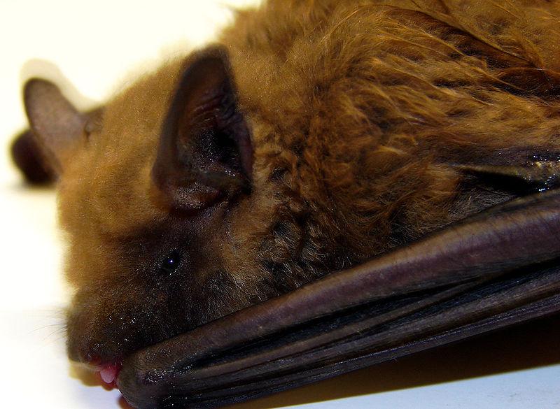 Michigan Brown Bat