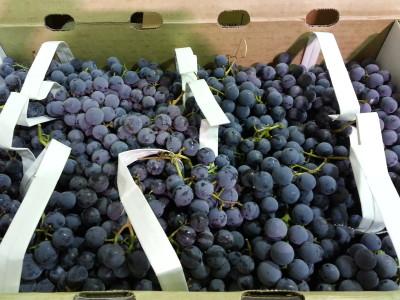 Concord grapes (2)
