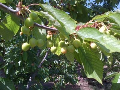 Cherry harvest soon