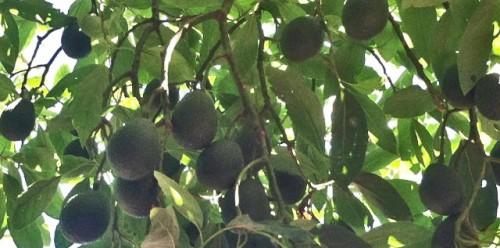 avo tree pics