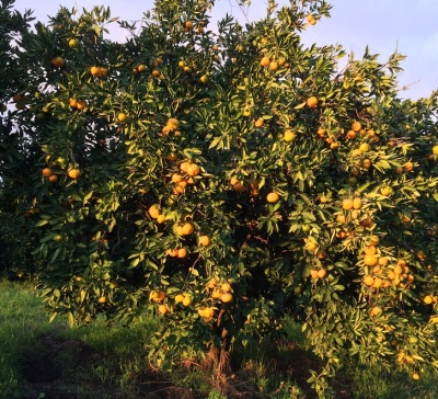 Satsuma tree cropped