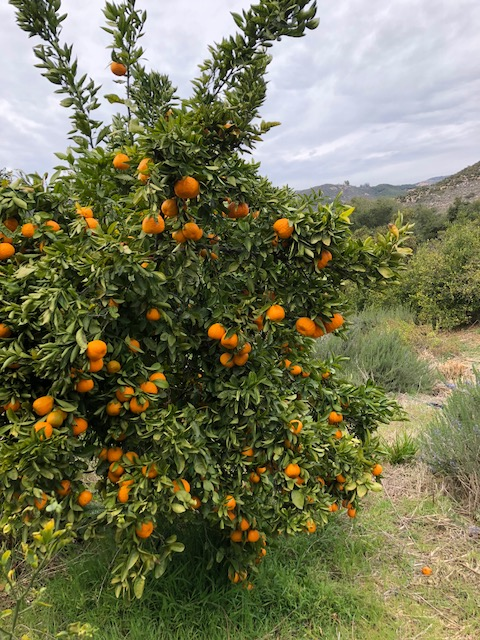 Gold Nugget Mandarins (2)