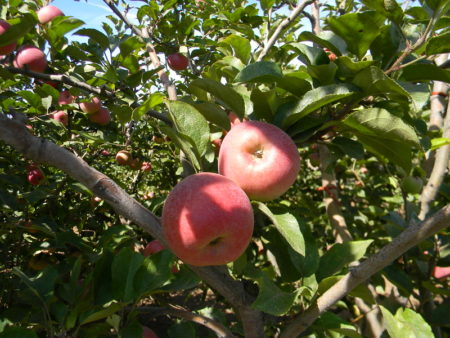 Apples naturally produce a waxy bloom