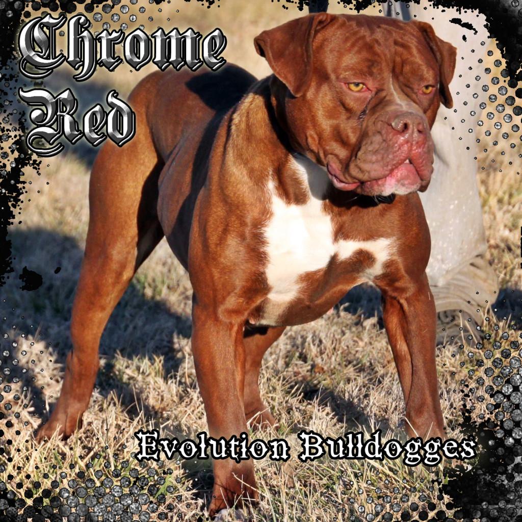 Red Olde Bulldogge