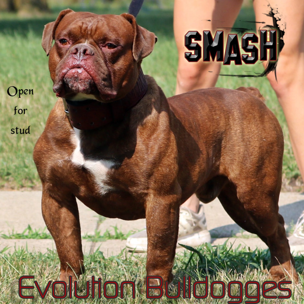 Evolution's Smash - open for stud service