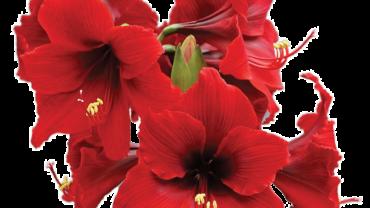 amaryllis-flower-370x208.png