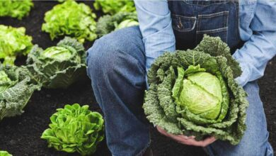 Photo of 10 Key Ailments Cabbage Can  Easily Cure