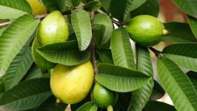Photo of 10 Healthy Benefits Of Guava Leaves