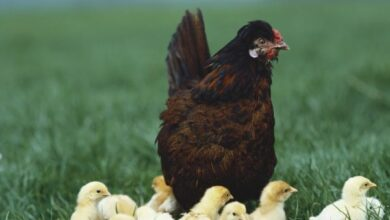 Photo of 11 Motivational Tips We Should Learn From A Hen