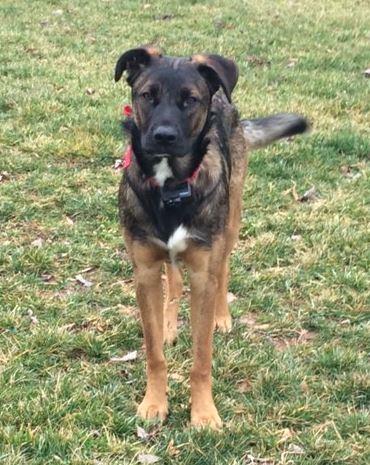 German Shepherd Mix Puppy For Adoption NC