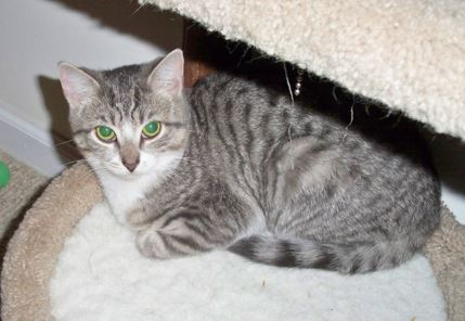 Lily - Tuxedo Tabby Cat For Adoption Washington DC