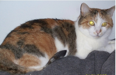 Pishie - cat to adopt in Washington, VA