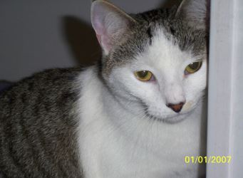 Rara - Grey Tabby Calico Cat For Adoption in VA