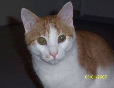 Riri - Beautiful Orange Tabby Tuxedo Cat For Adoption Near Washington DC