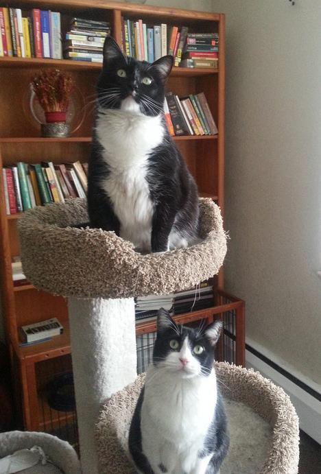 Tuxedo Cats For Adoption in Glendale CO