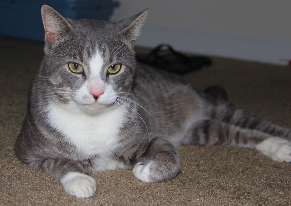 Young Tom is a 1 year old tabby cat in Orlando, FL to adopt