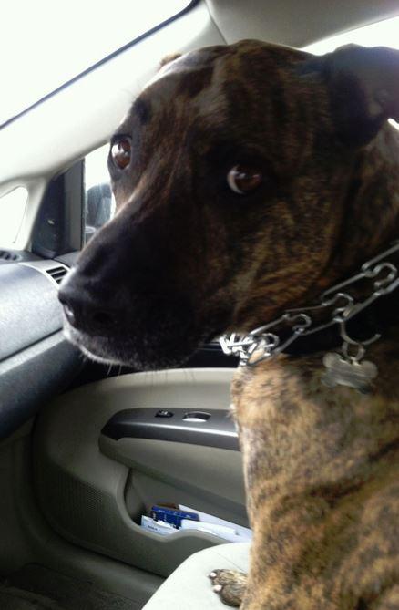 Greyhound Mix for Adoption Colorado