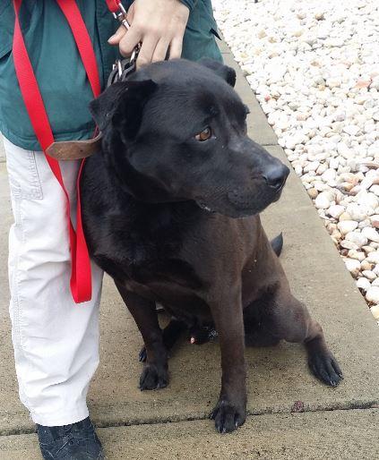Labrador Retriever Mix For Adoption in Georgia