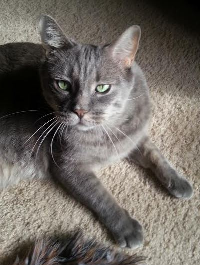Gorgeous Tabby Cat For Adoption in Phoenix