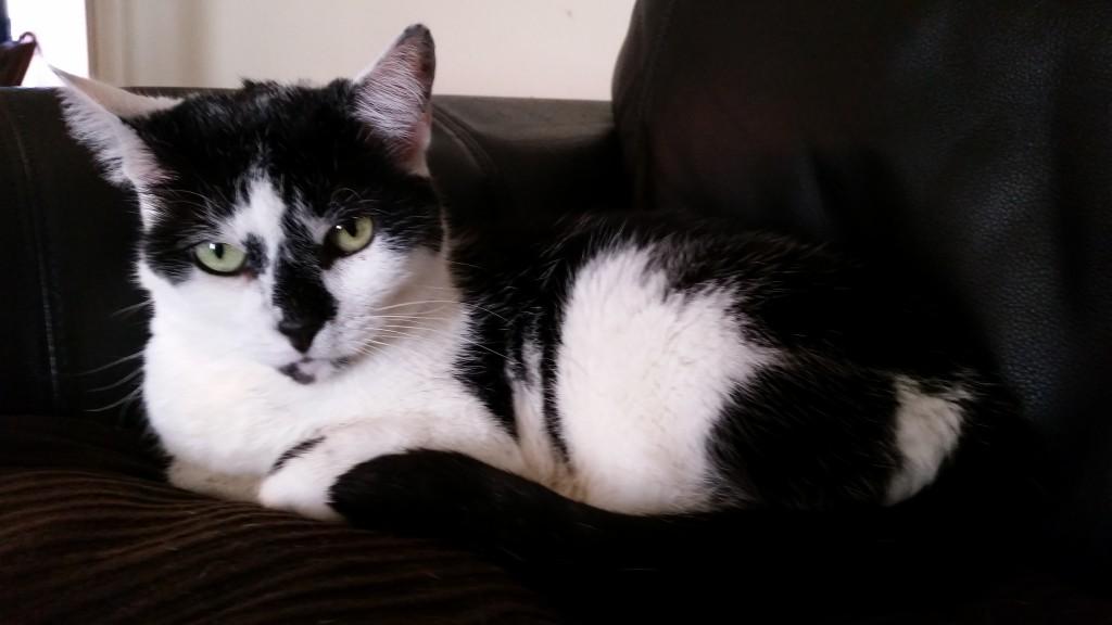 Black and White Cat For Adoption in Arizona Phoenix
