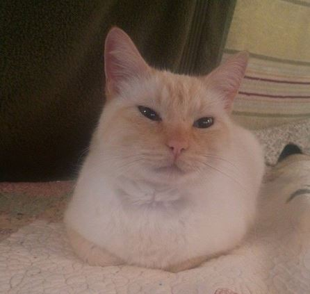 Flame Point Siamese For Adoption in San Francisco