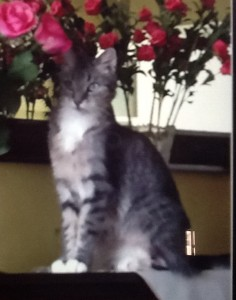 Tuxedo Tabby Cat For Adoption Staten Island