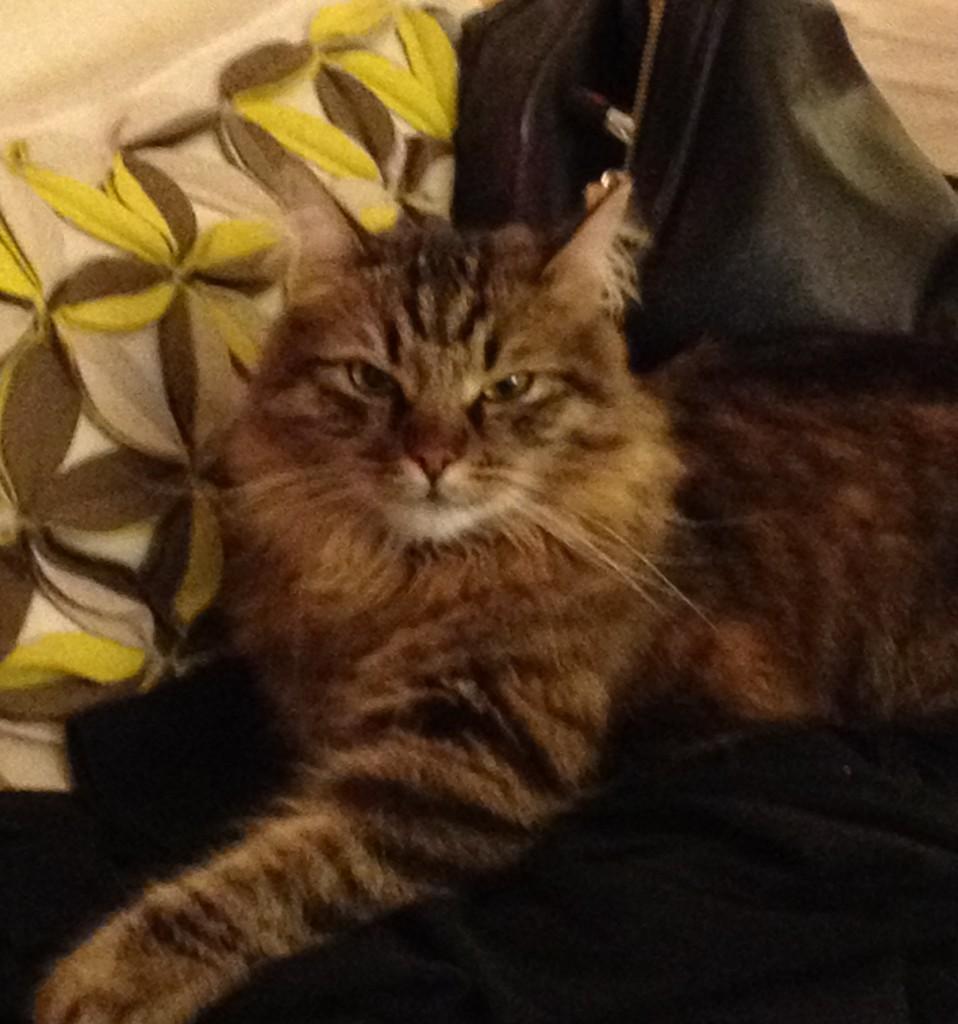 Zulu - Purebred Siberian Cat For Adoption Arlington VA