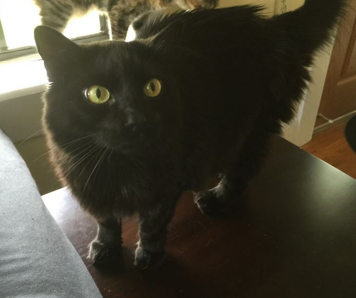 Walter Black Cat For Adoption in Tampa