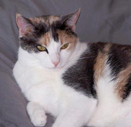 Gorgeous Calico Cat For Adoption in Katy Texas
