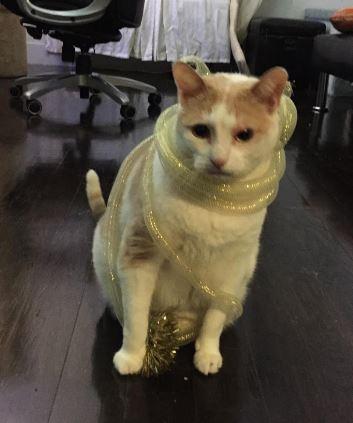 Tuxedo Tabby For Adoption in Brooklyn