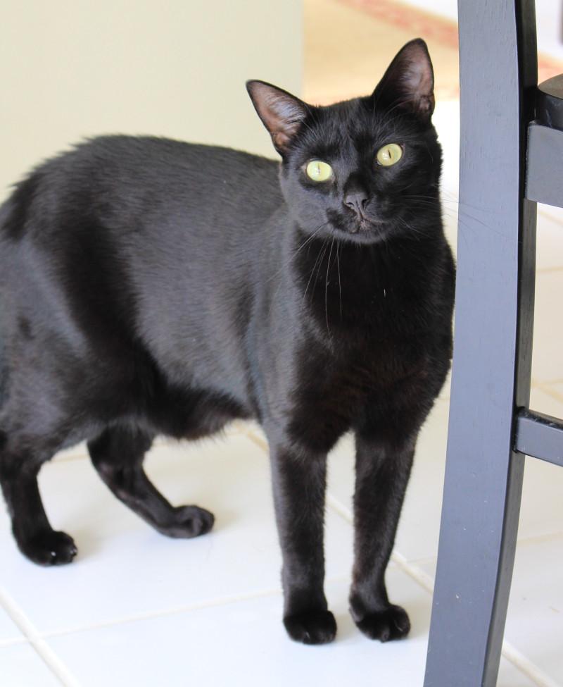 Black Cat For Adoption in Lawrenceville GA