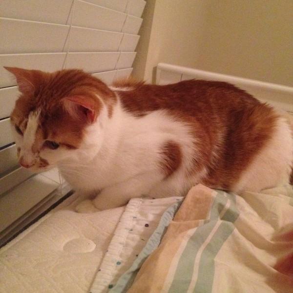 Cat adoption in Tampa