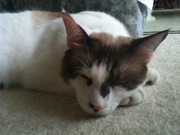 American Shorthair Male Cat Named Bloop