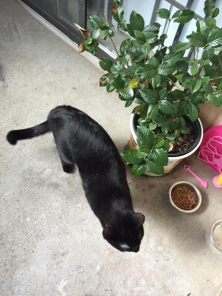 Bombay Cat, Male Named Shaka, for Adoption in Texas
