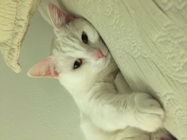 ADOPTED Female White Adult Cat Named Margo