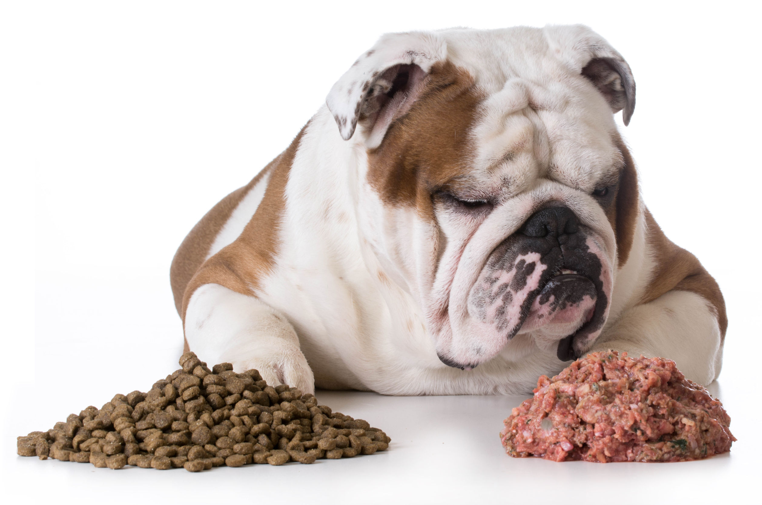 dog choosing raw over kibble - bulldog