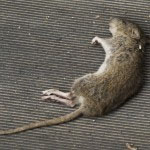 Dead rat or dead animal removal by Pro Trap Animal Removal & Pest Control in Southwestern Ontario