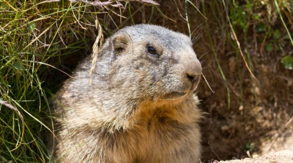 Wildlife removal of Groundhogs by Pro Trap Animal Removal & Pest Control in Southwestern Ontario