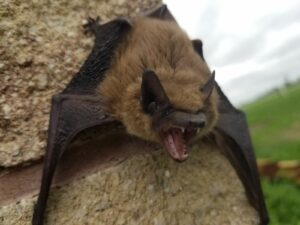 big brown bats removed by Pro Trap Animal Removal & Pest Control in Southwestern Ontario