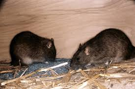 Rats & Mice control solution by pro trap in Windsor Essex County and Chatham Kent County