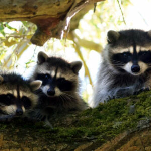 Raccoons-sitting-in-a-tree-400x400 Pro Trap Animal Removal & Pest Control in Southwestern Ontario