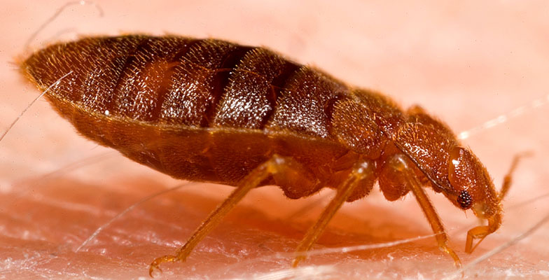 bed-bugs-extermination-and-control-by-Pro Trap Animal Removal & Pest Control in Southwestern Ontario