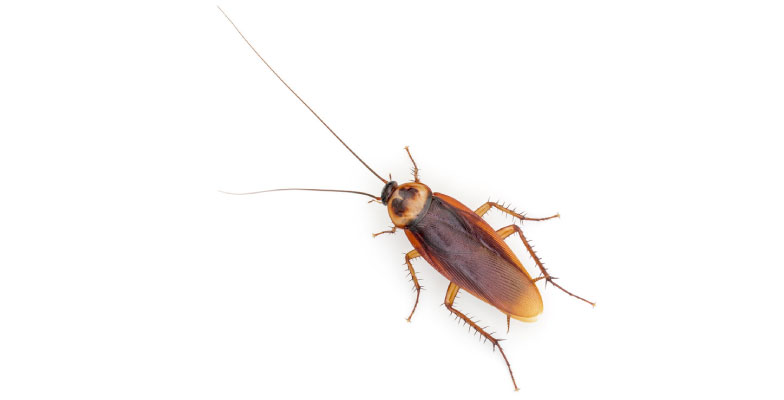 cockroaches-extermination-and-control-by-Pro Trap Animal Removal & Pest Control in Southwestern Ontario