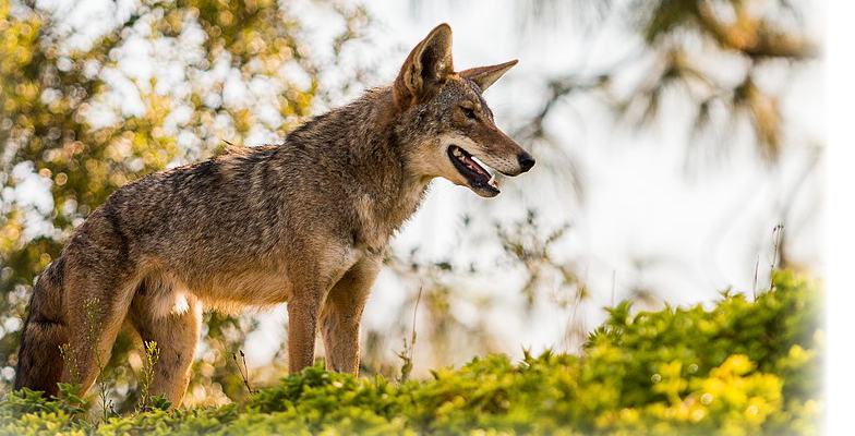coyote-looking-in-the-distance-pro-trap-can-help-remove-coyotes-from-your-property by Pro Trap Animal Removal & Pest Control in Southwestern Ontario