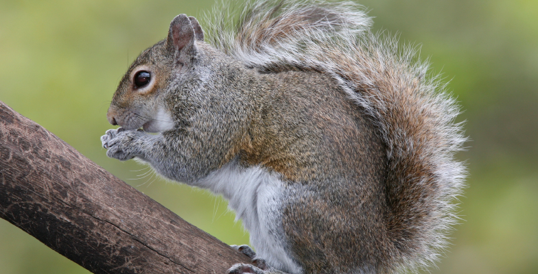 easter-grey-squirrel-removal-by-Pro Trap Animal Removal & Pest Control in Southwestern Ontario