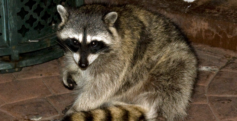 raccoon-removal-by-Pro Trap Animal Removal & Pest Control in Southwestern Ontario