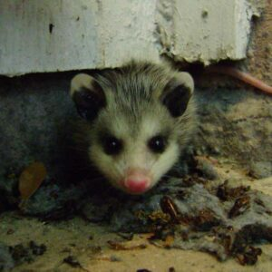 possum-hiding-in-the-house removed by Pro Trap Animal Removal & Pest Control | Southwestern Ontario