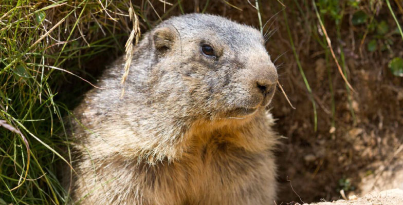 groundhog-removal-by-Pro Trap Animal Removal & Pest Control in Southwestern Ontario
