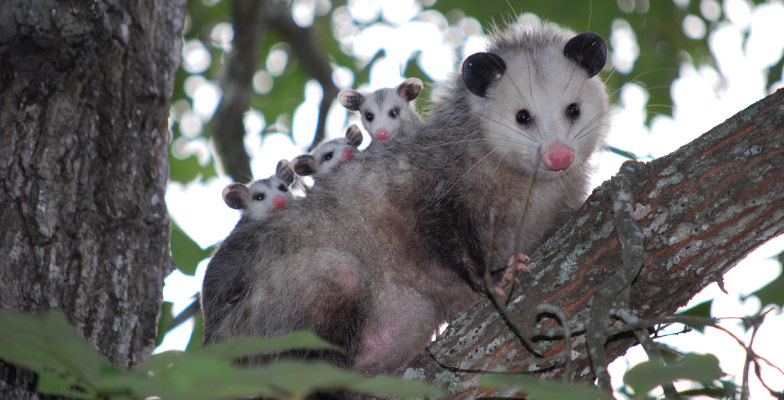 oppossums-possums-in-a-tree-wildlife-removal-by-Pro Trap Animal Removal & Pest Control in Southwestern Ontario